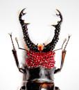 015_Beetle-Red-Head-Black-Horns_close
