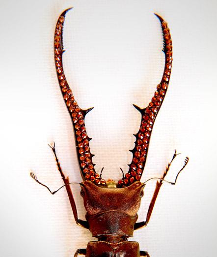 020_Beetle_Horns_close