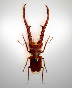 020_Beetle_Horns_full