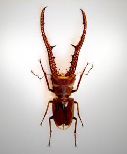 020_Beetle_Horns_full