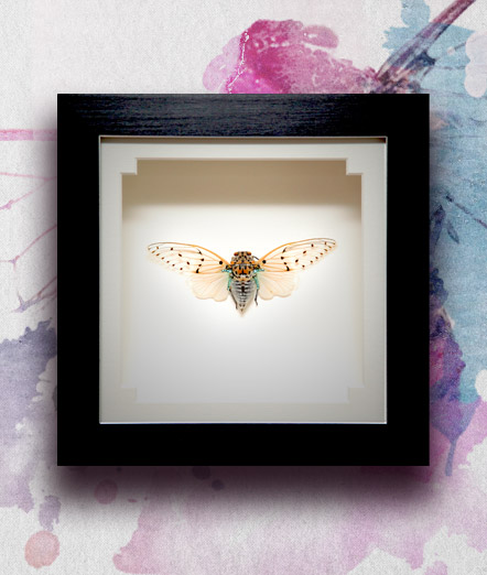 024_Ghost-Cicada-Framed_featured