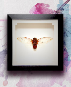 025_Cicada-Framed_featured