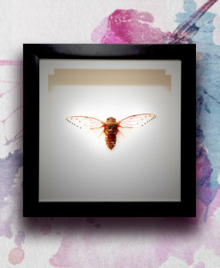 026_Cicada_featured