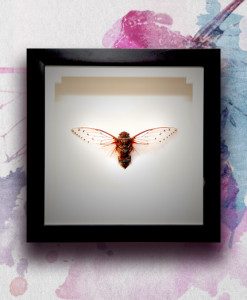 030_Cicada_featured