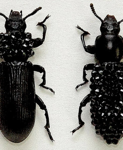 041_Darkling-Beetles_Framed_close