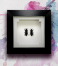 041_Darkling-Beetles_Framed_featured