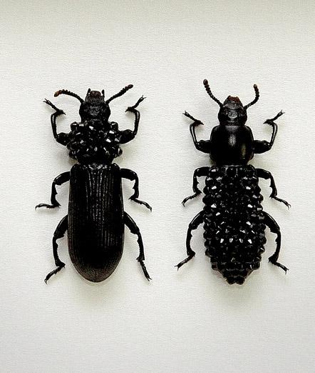 041_Darkling-Beetles_Framed_full