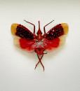 046_Lantern-Beetle_Red_Framed_full