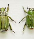 050_Gold-Scarab-Beetles_Framed_close